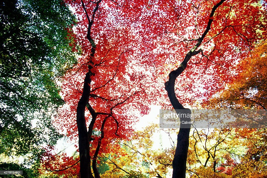 Colorful maple leaves (Acer sp.) in autumn, low angle view, England : Stock Photo