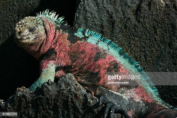 Colorful marine iguana resting on shore rocks
