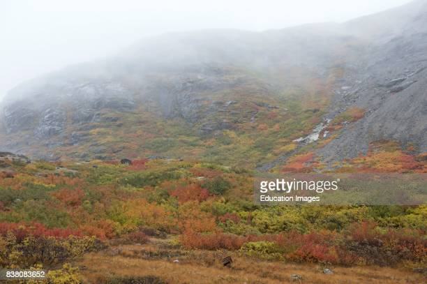 Colorful mountainsides in Southern Greenland close to Narsasuaq The mountainsides are colorful in fall with brushwoods of mountain birch scattered...