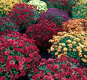 Buffalo, NY, United States - September 2017 - Red, Yellow, Orange, Purple color mums (Chrysanthemum) for fall on dark background