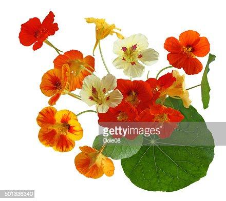 Colorful Nasturtium Flower : Stock Photo