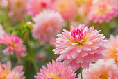 colorful of dahlia pink flower in Beautiful garden.
