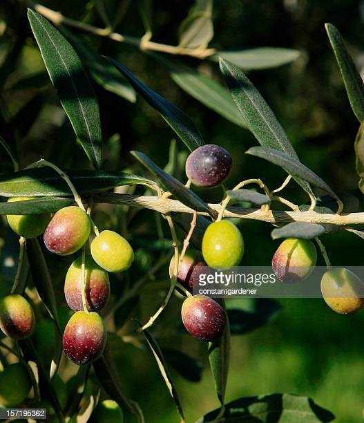 Colorful Olive Branch With Olives