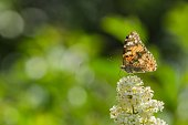 Butterfly sitting on white bloom of common privet growing in a garden on a hot sunny spring day. Green blurry background making a bokeh.