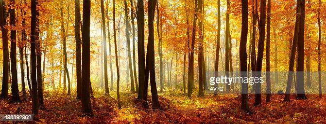 Panorama coloré de l'automne forêt de hêtre éclairée par la lumière du soleil : Photo