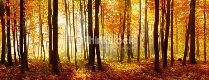 Colorful Panorama of Autumn Beech Tree Forest Illuminated by Sunlight : Stock Photo