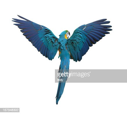 Colorful parrot flying with wings spread isolated on white : Stock Photo