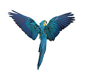 Colorful parrot flying with wings sperad isolated on white