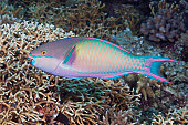 Colorful Parrotfish on a tropical coral reef