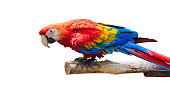 Colorful Parrots bird isolated on white background. Red and blue Marcaw on the branches. ( Clipping path )