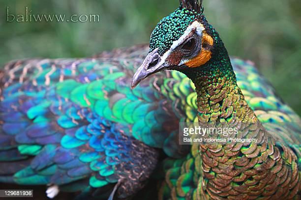 Colorful peacock in bali zoo