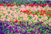 Colorful petunias in the  garden of Dubai, United Arab Emirates