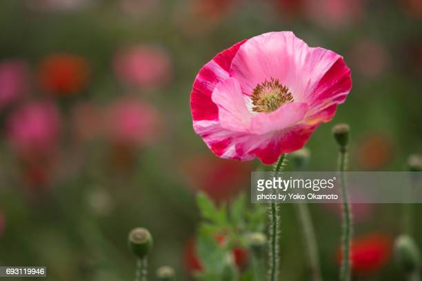 Colorful pink poppy