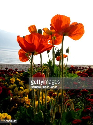 colorful poppies stock photo  getty images, Beautiful flower