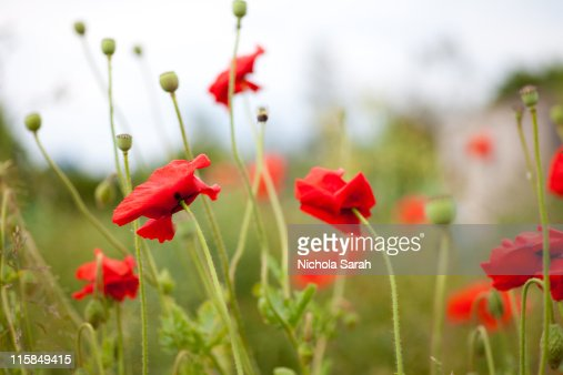 colorful poppies with seed heads stock photo  getty images, Beautiful flower