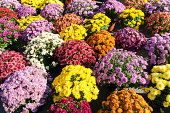 Background with beautiful colorful potted chrysanthemums smiling in the late summer afternoon sunshine