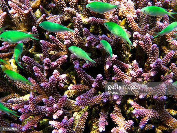 Colorful purple coral with school of green fish swimming