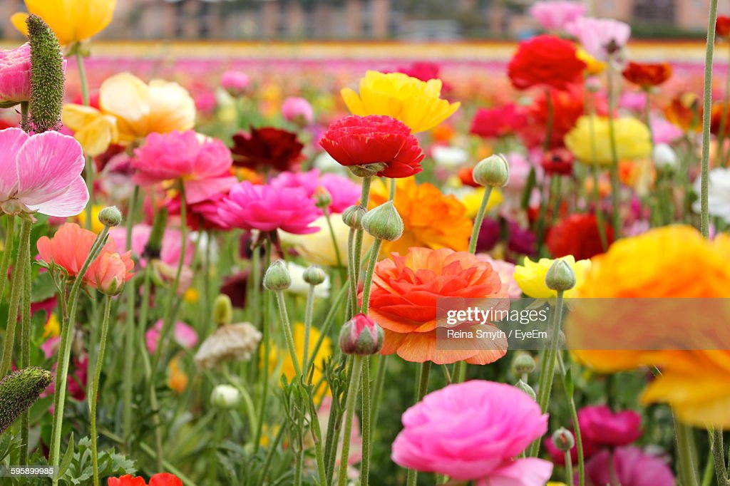 Colorful Ranunculus Flowers Blooming In Park