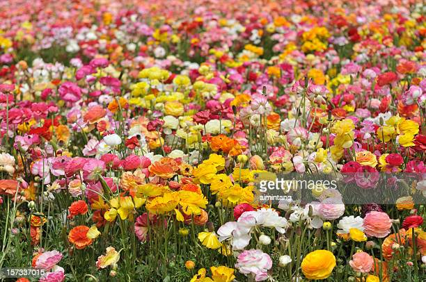Colorful Ranunculus Flowers in Blossom
