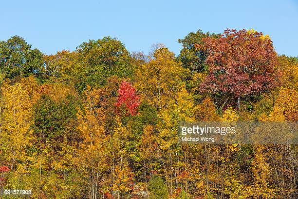 Colorful red tree in Fall foliage
