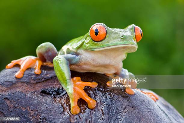 Colorful Red-eyed Tree Frog