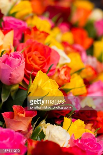 colorful roses : Stock Photo