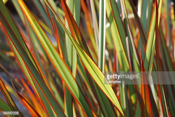 A colorful sunlit Maori queen flax Harakeke