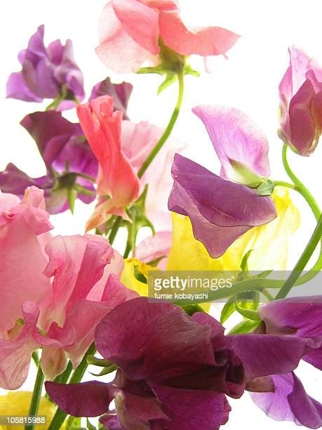 colorful sweetpeas on white background