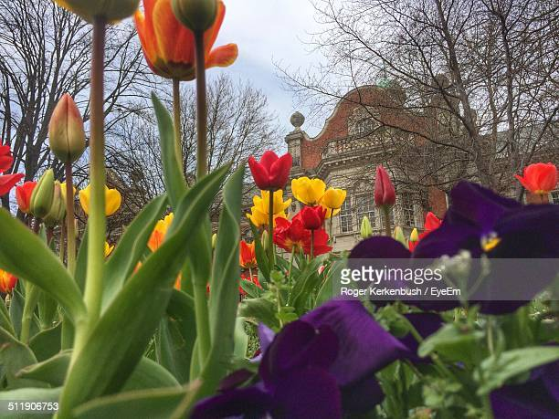 Colorful tulip blooming in garden