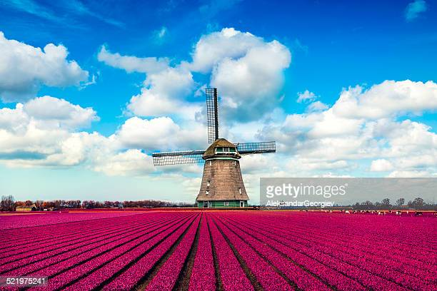 Champs de tulipes colorées en regardant un moulin à vent néerlandais traditionnel