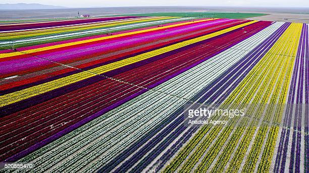 Colorful tulip fields sized 300 decare which have been opened to public for two days in Karatay Konya on April 13 2016