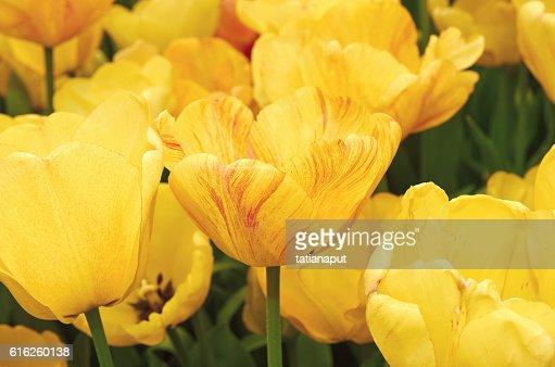 Colorful tulip flower macro on nature background. : Foto de stock