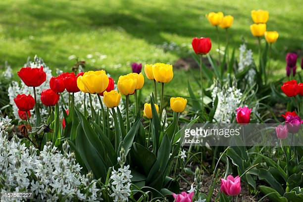 Colorful tulips in flowerbed