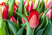 Colorful tulips in the garden. Spring tulip background.