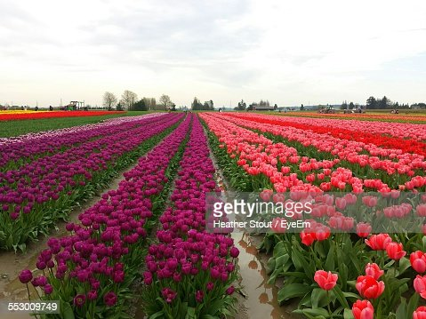 Colorful Tulips On Field