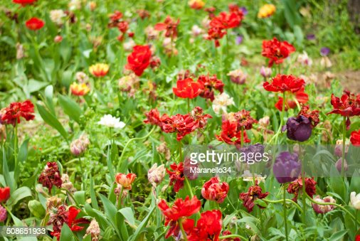 Colorful Tulips : Stock Photo