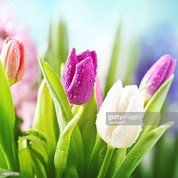 Tulipes colorées avec des gouttes d'eau