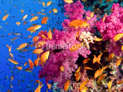 Colorful Underwater Picture Of A Coral Reef With Goldfish ...