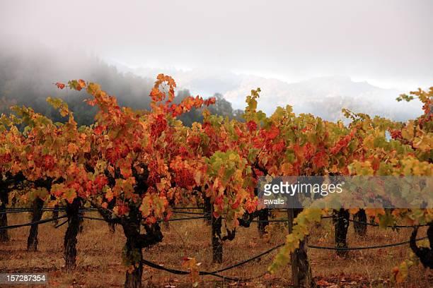 Vines coloré de