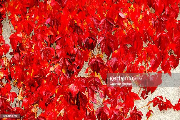 Colorful wine leaves in autumn