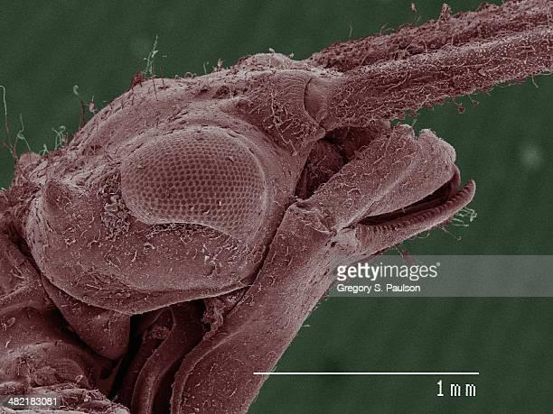 Coloured SEM of damselfly (Calopterygidae)