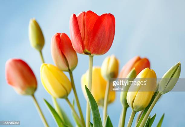 Coloured Tulips and Blue Sky
