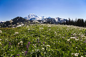 Wildflowers grow in profusion in the meadows of Skyline Divide near Mount Baker, North Cascade Mountains, Washington State.  The bottom half of this horizontal photo is filled with the colorful grasse