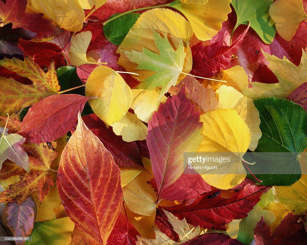Colourful autumn leaves, close-up