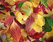 Colourful autumn leaves, close-up