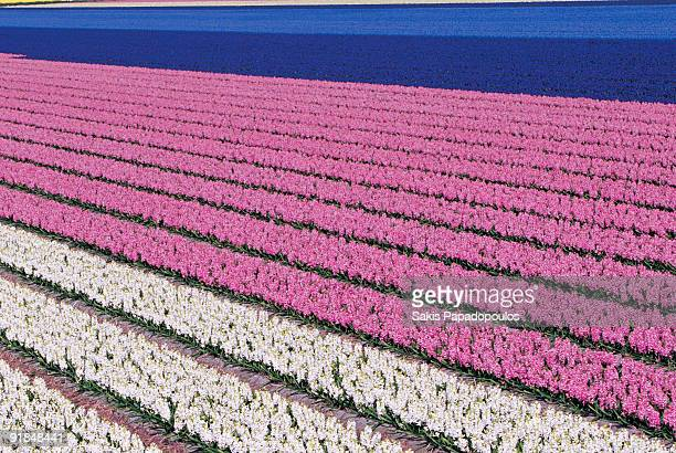 Colourful Dutch flower fields