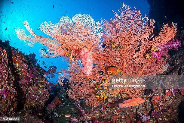 Colourful gorgonian sea fan in a coral reef