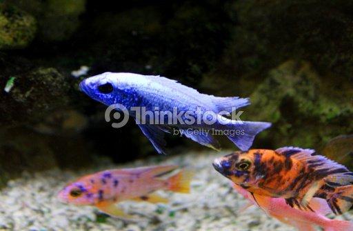 bunte malawi buntbarsch fische in tropischen aquarium. Black Bedroom Furniture Sets. Home Design Ideas