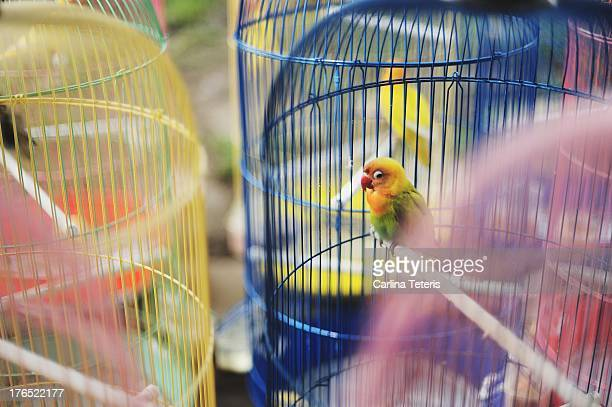 Colourful parakeets in colourful bird cages