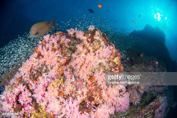 Colourful Reef Scene of the Andaman Sea